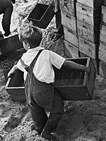 boy laborer in cranberry bog 1938