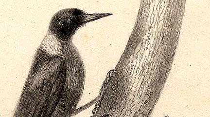 Illustration, Woodpecker, C. W. Peale, Biddle Edition Archive