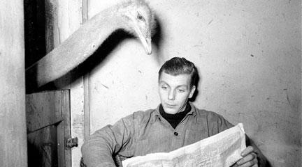 Photo, Ostrich reads newspaper of caretaker. Flickr