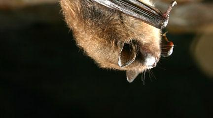 Photo, Brown Bat, June 20, 2008, Al Hicks, U.S. Geological Survey